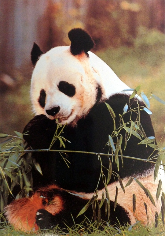 Panda Bear Ellen DeGeneres