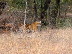 India Ranthambore tiger