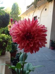 Big, pretty flower number 2.
