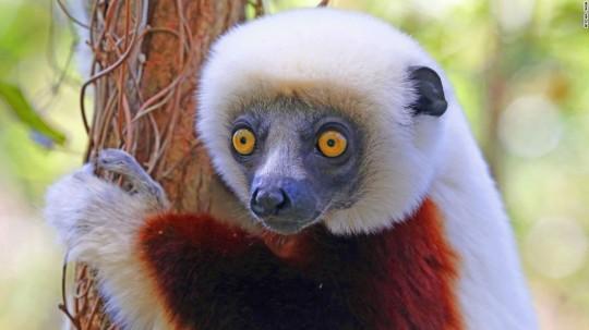 150826145932-madagascar-9-lemur-coquerels-super-169