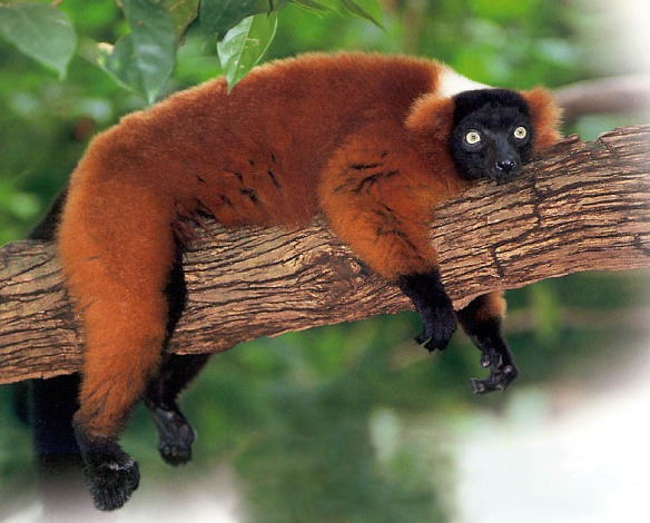 red-ruffed-lemur