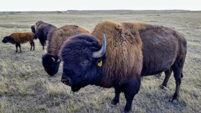 Buffalo 3