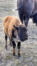 Buffalo 5